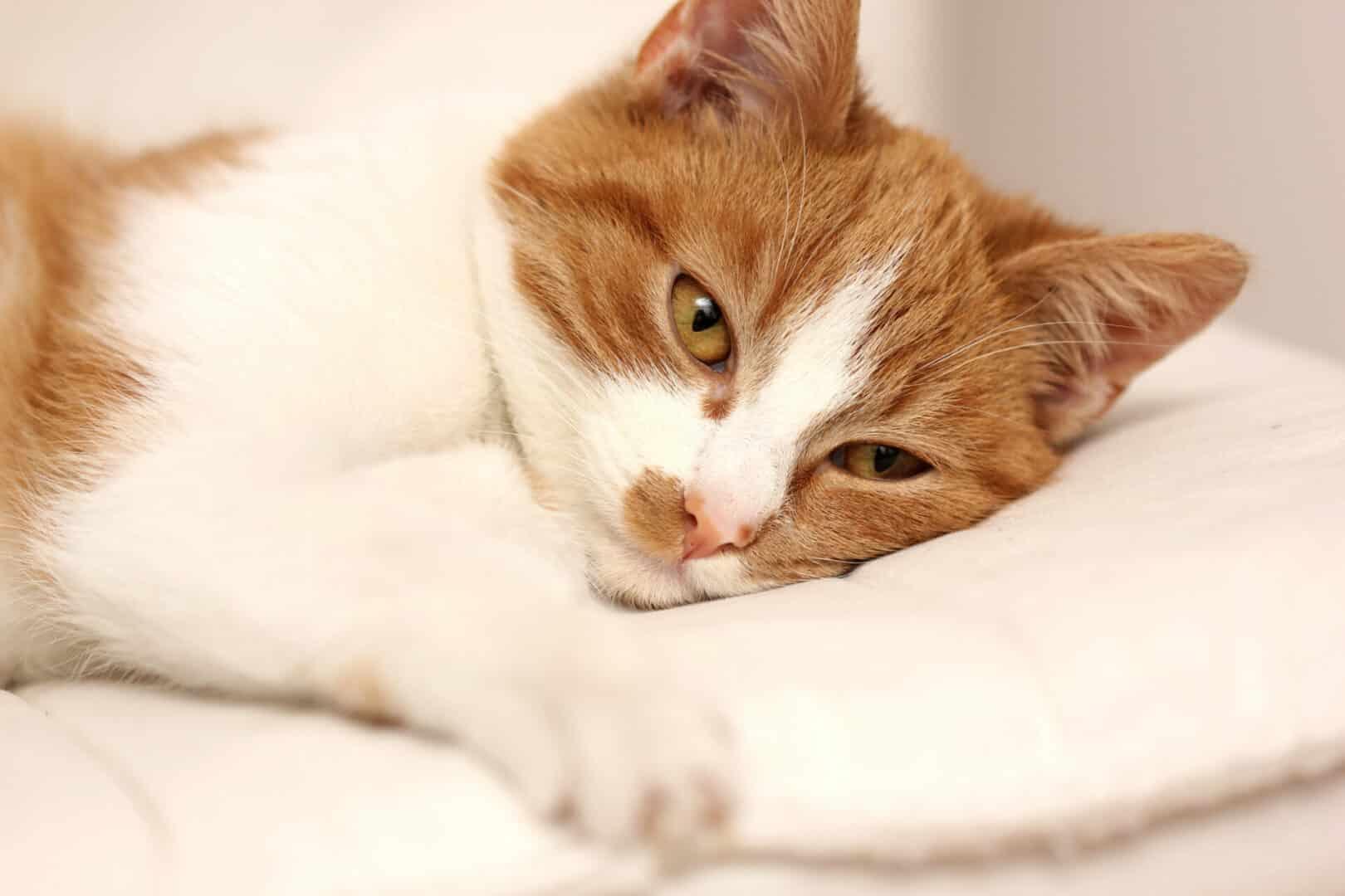 Chronic Obstructive Pulmonary Disease in cats