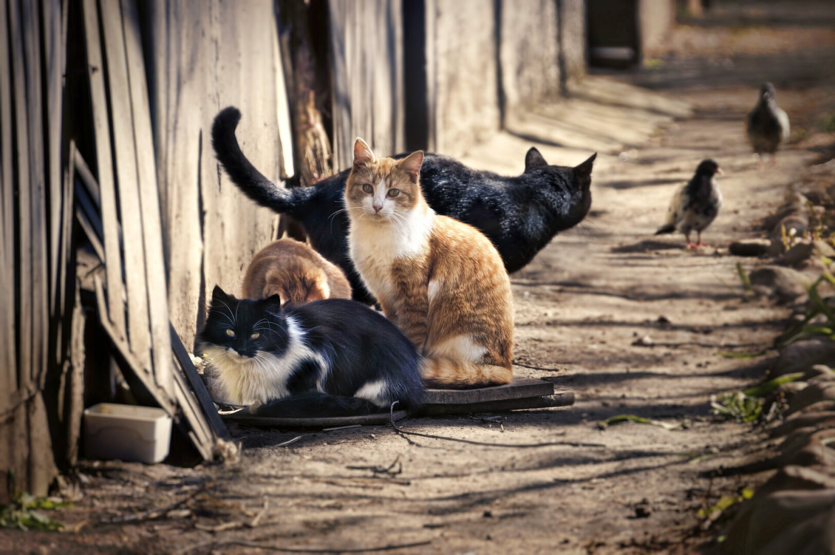 difference between feral cat and stray cat