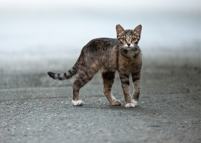 how to tell the difference between feral cats and stray cats