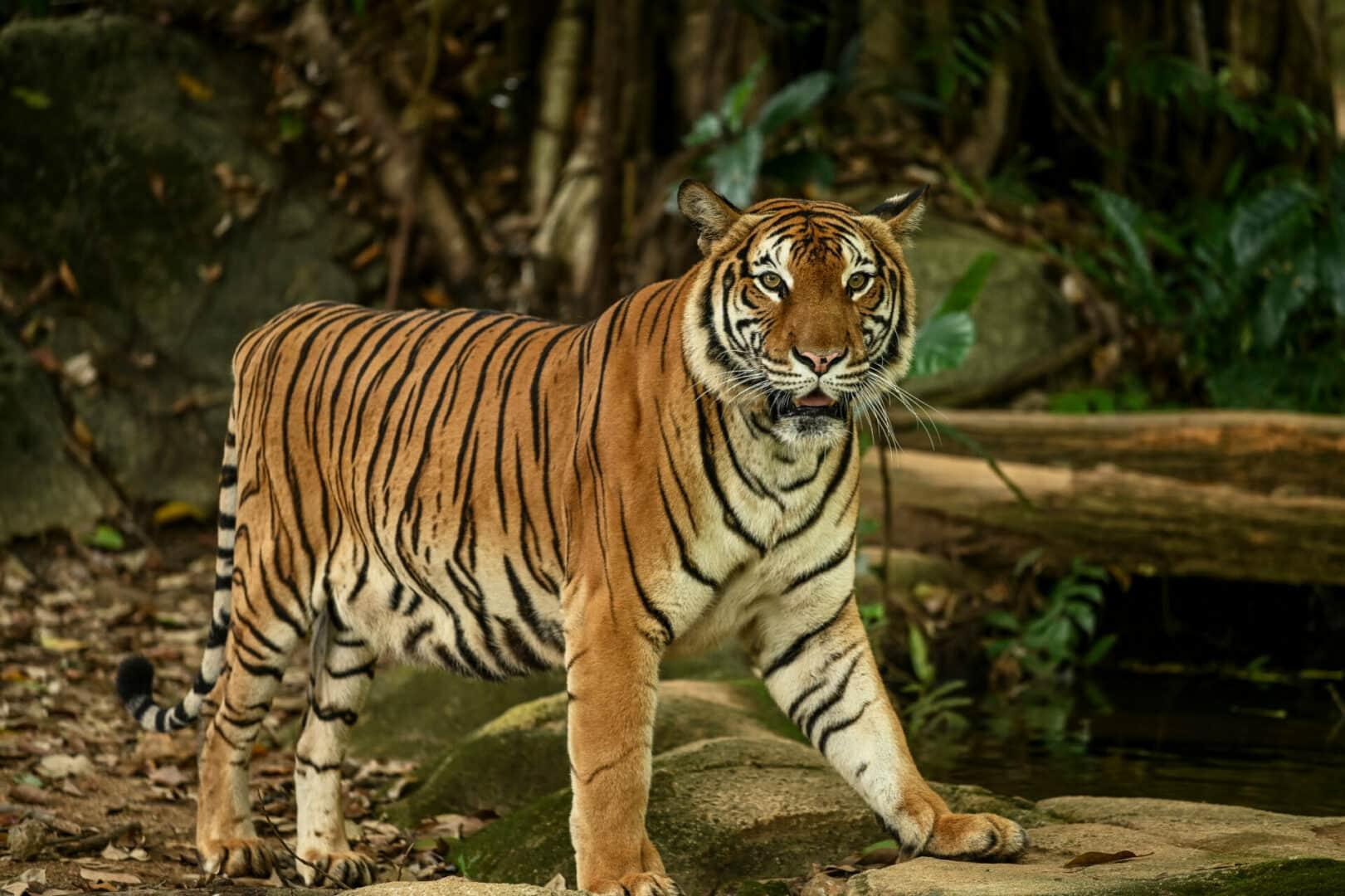Malayan tiger facts