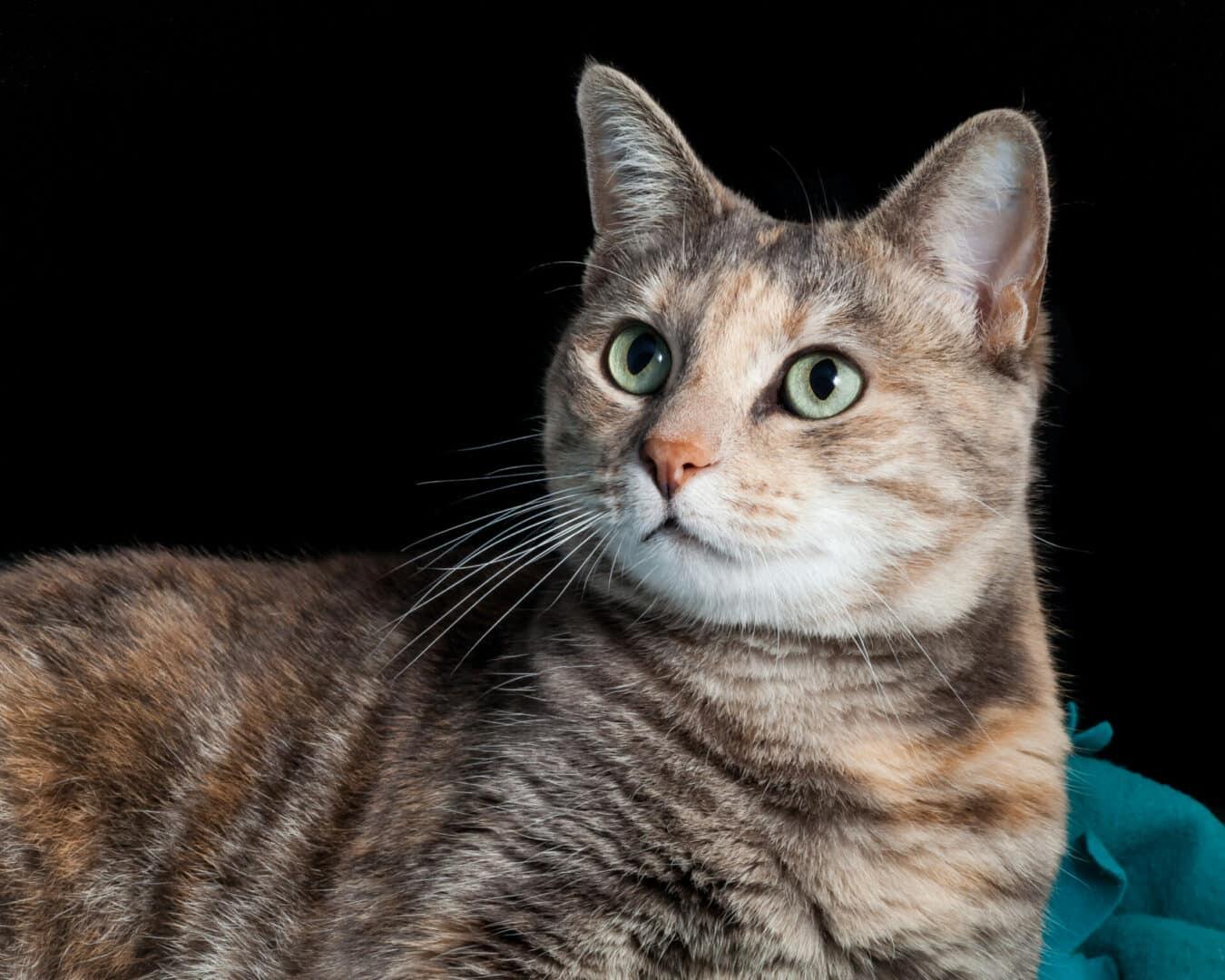 types of tabby cat markings