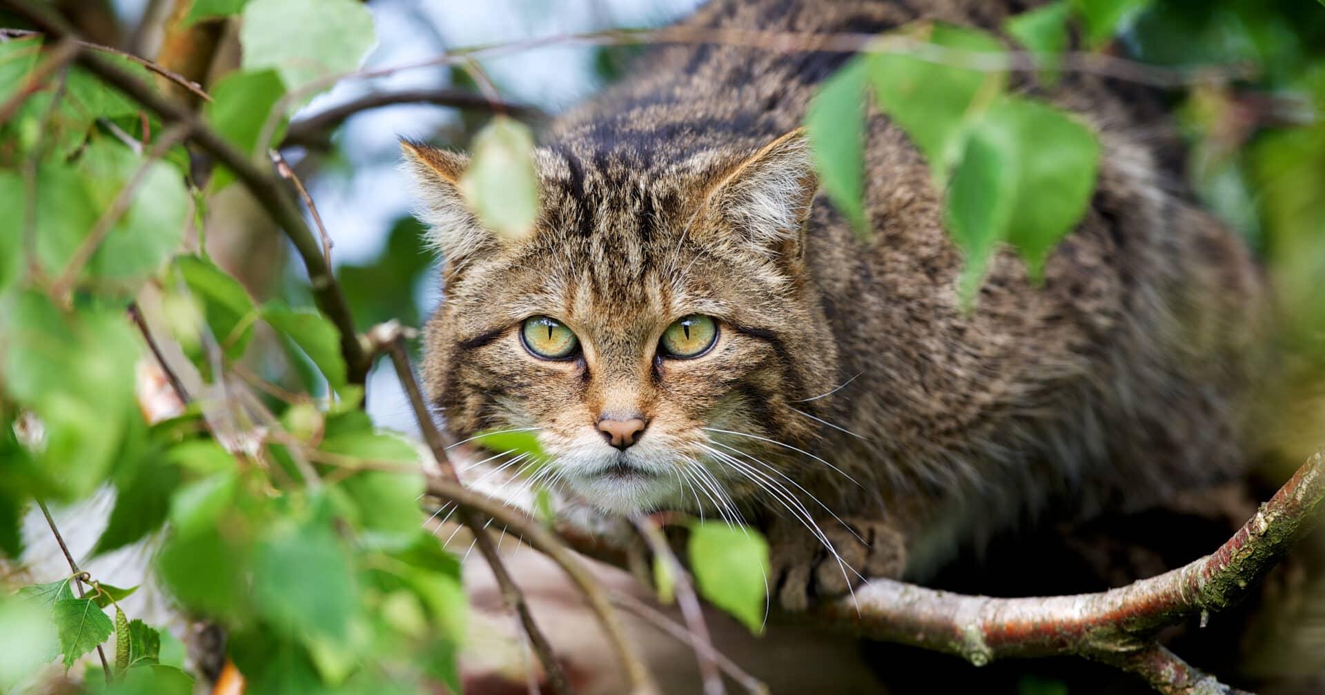 Scottish Wildcat facts