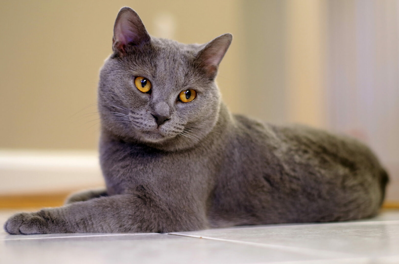 Chartreux cat breed facts