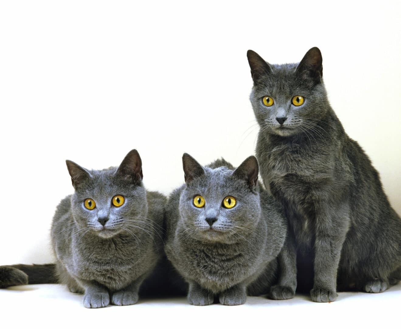 pretty Chartreux cats