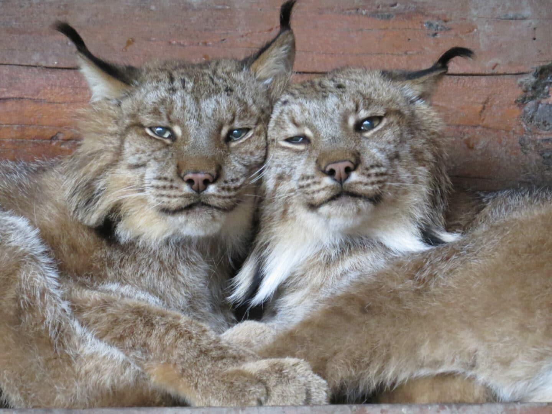 canada lynx cats
