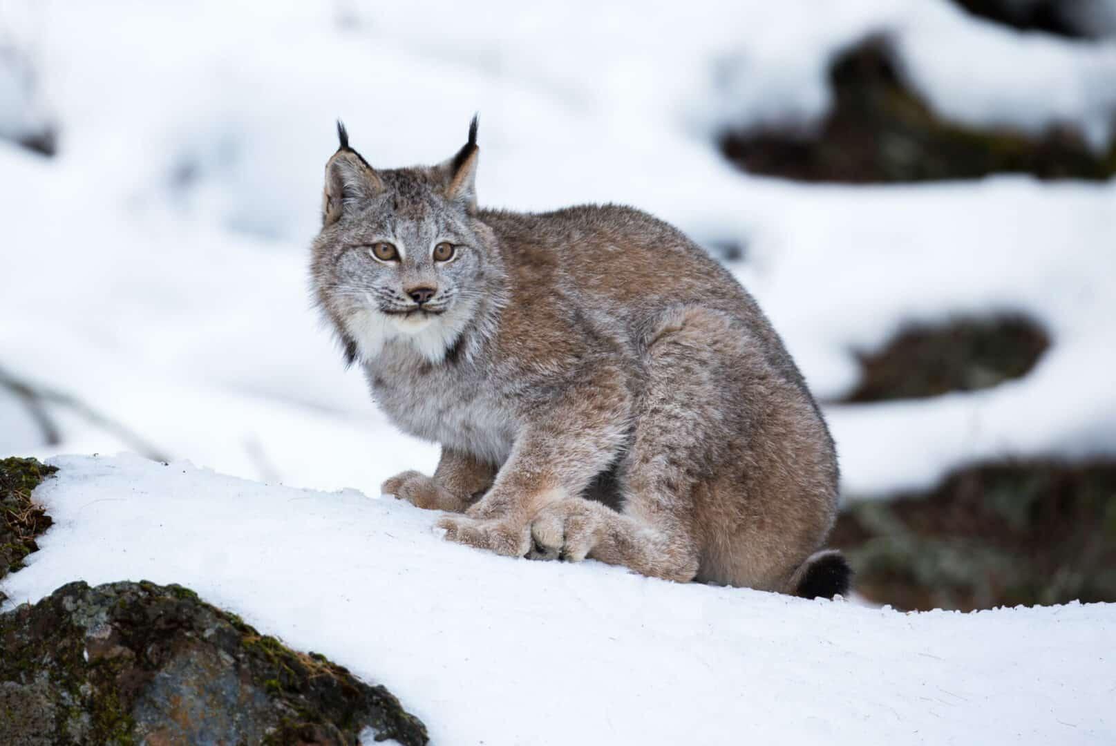 Canada Lynx in winter