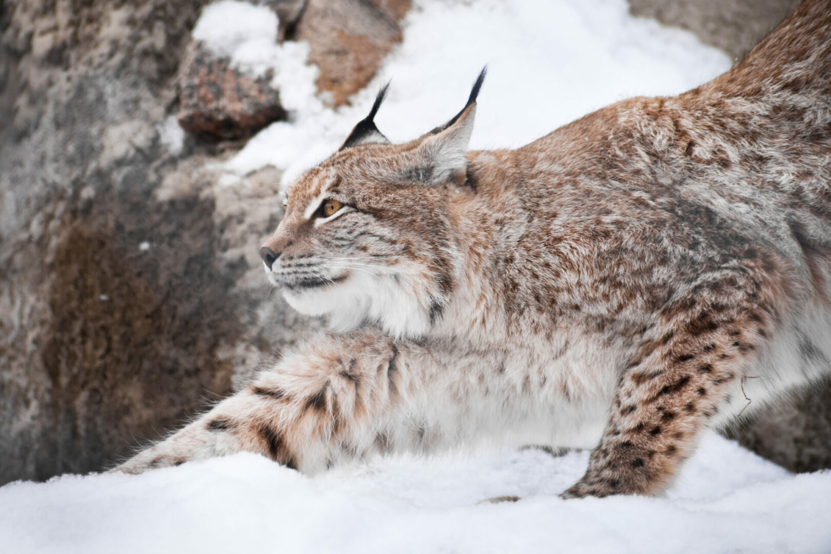 facts about the Canada Lynx