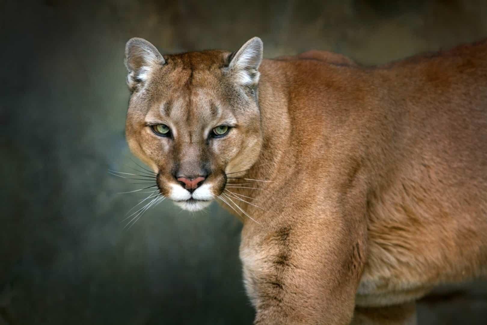 cougar big cat facts