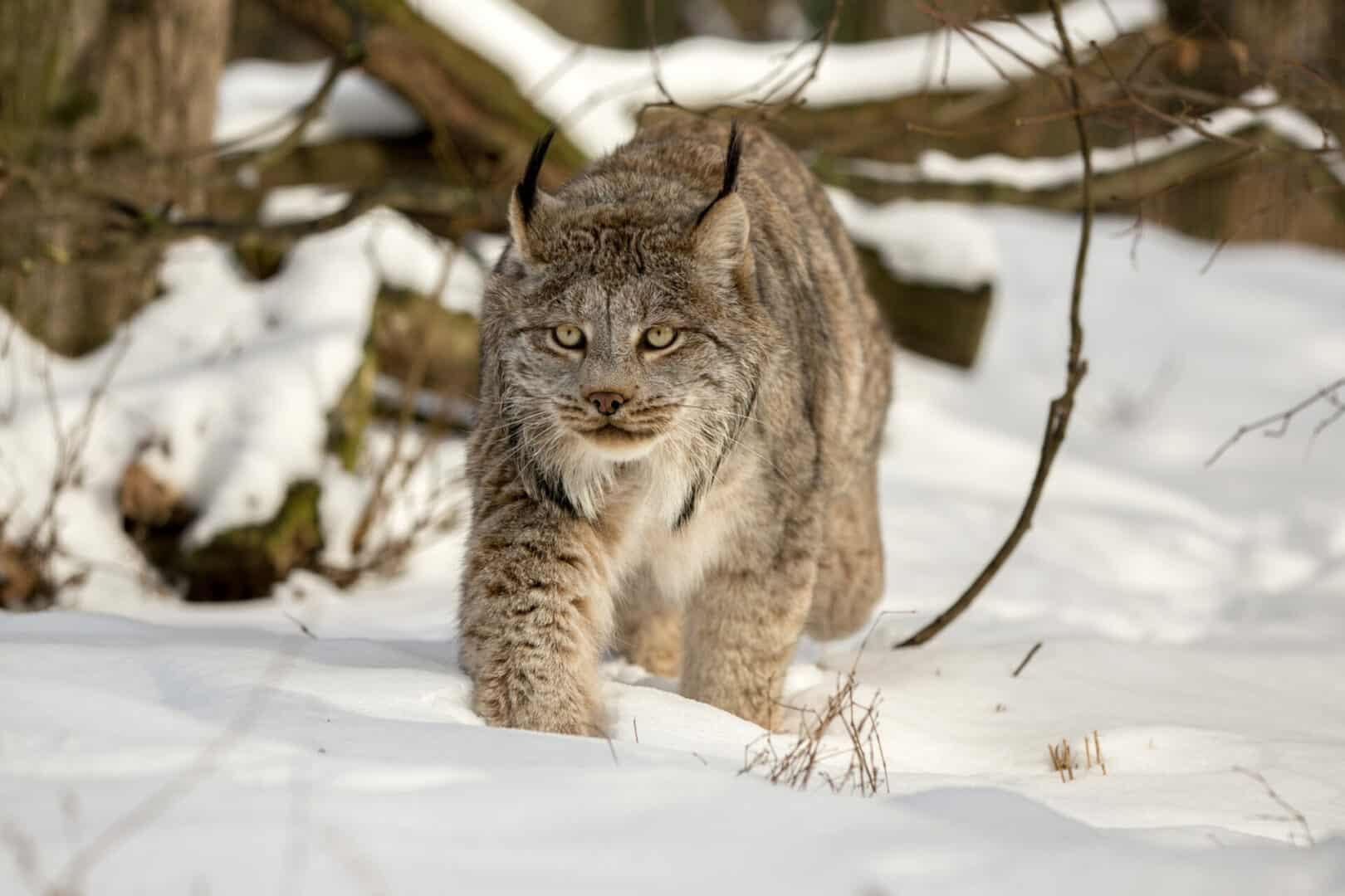 Canada Lynx facts