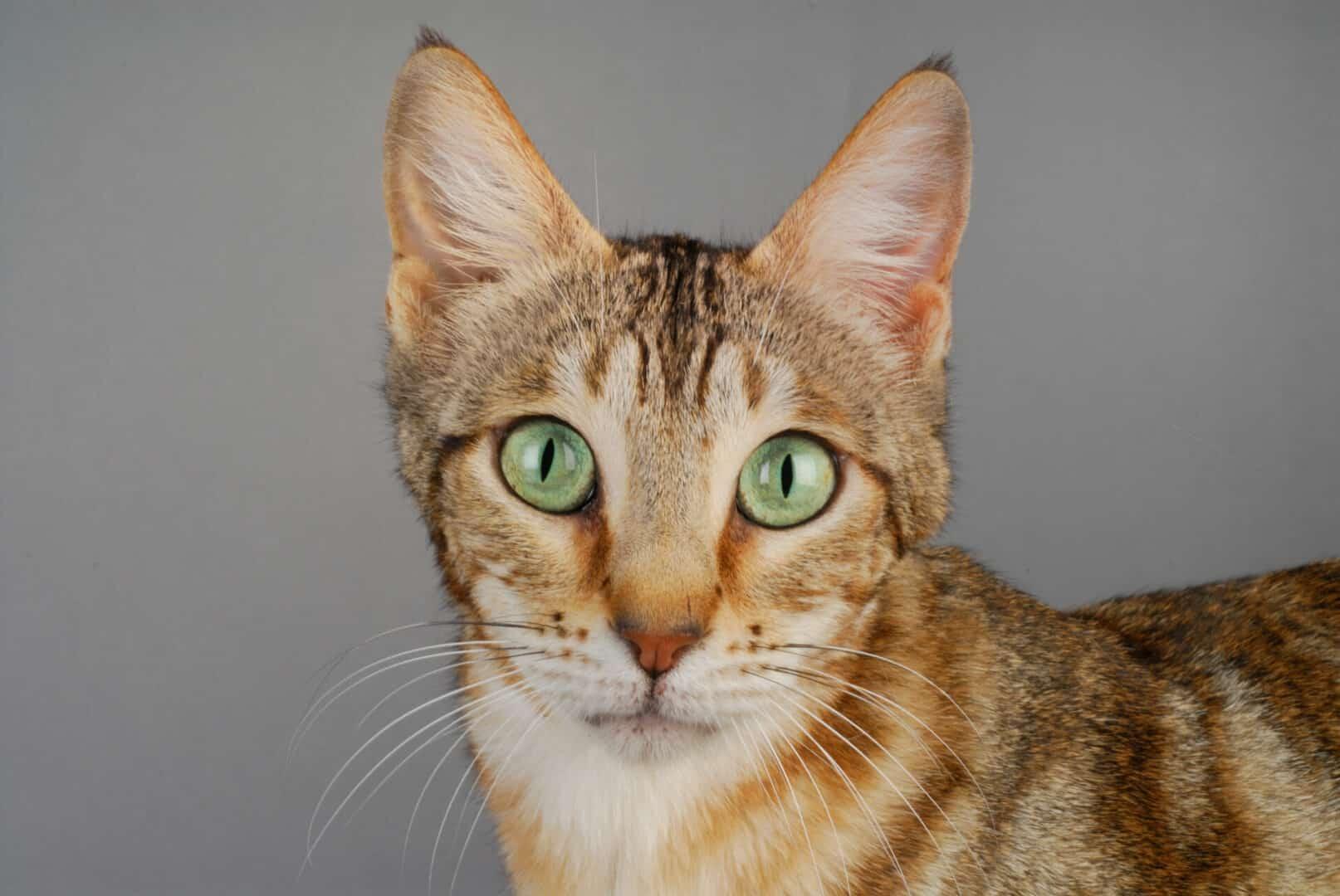 Sokoke cat breed