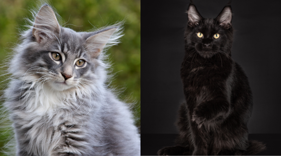 differences between maine coon cats and norwegian forest cats