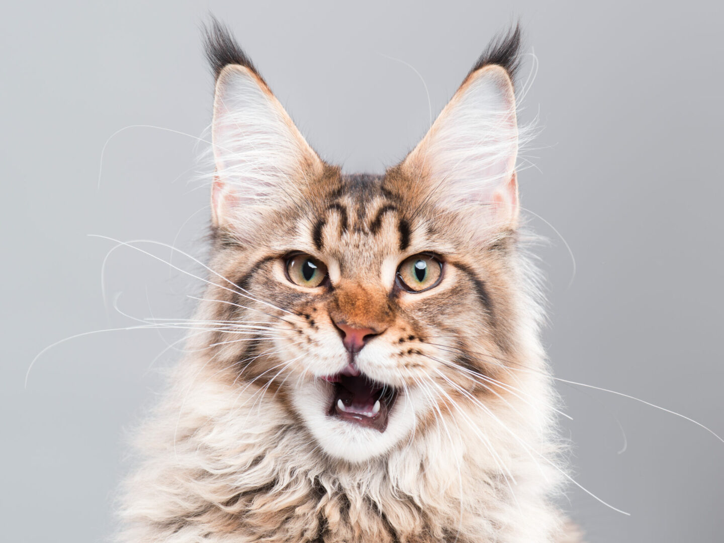 Maine Coon cat meowing