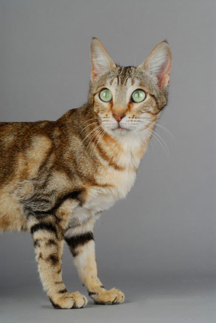 Sokoke cat breed facts